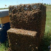 преобрести итальянских пчеломаток из Италии