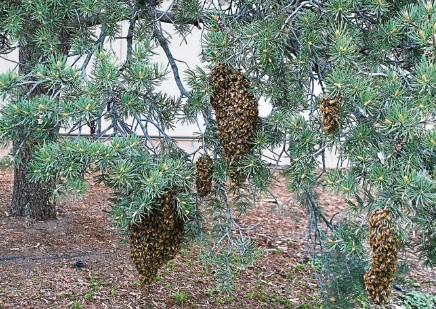 Рои в Августе, почему слетают пчелы