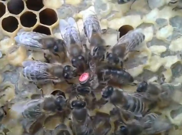 фото пчелы, фотографии пчел