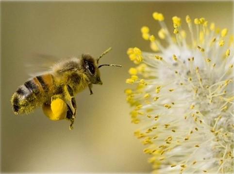 бджолосімї для запилення сг культур