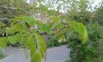 в Києві акація з суцвіттями