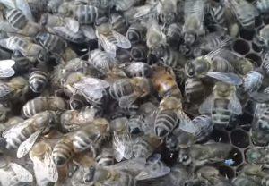 Українська степова порода Бджіл