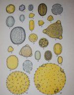 внешний вид пыльцевых зерен Пыльца растений в микроскоп и физические свойства
