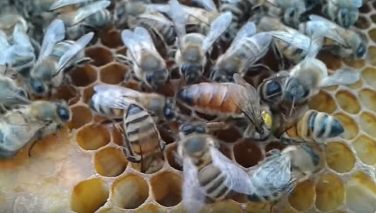 Матки Итальянской пчелы Фото