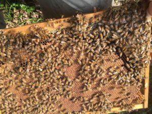 Племенные Пчеломатки итальянки Детори