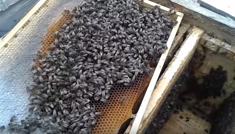 Стимуляция пчёл к выращиванию расплода