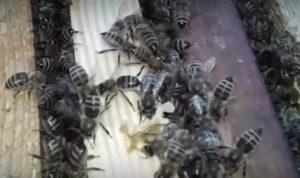 Українська степова бджола продаж маток