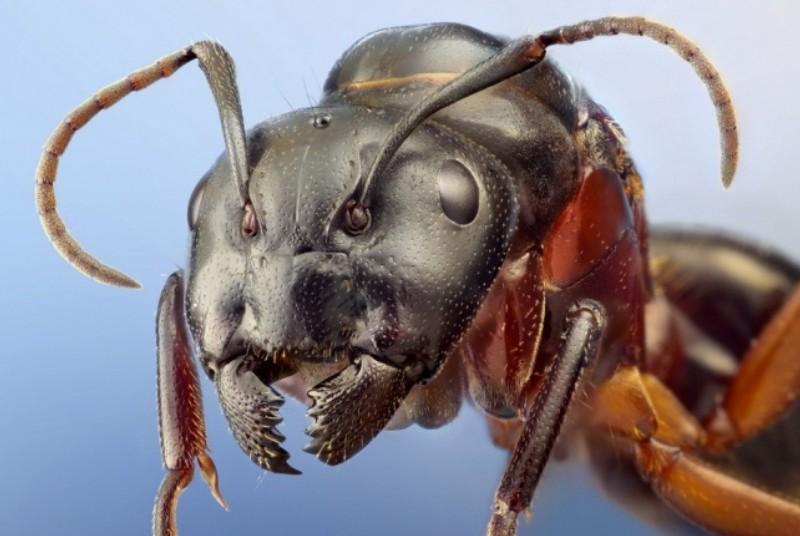 Какие муравьи мешают пчелам Муравьи на пасеке