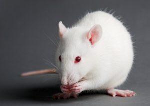 исследования пчелиного яда на крысах