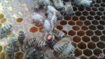 Цікаве про медоносну бджолу