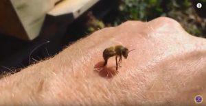 Погибают ли пчелы после того как ужялят?