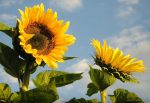 неонікотиноїди і бджоли