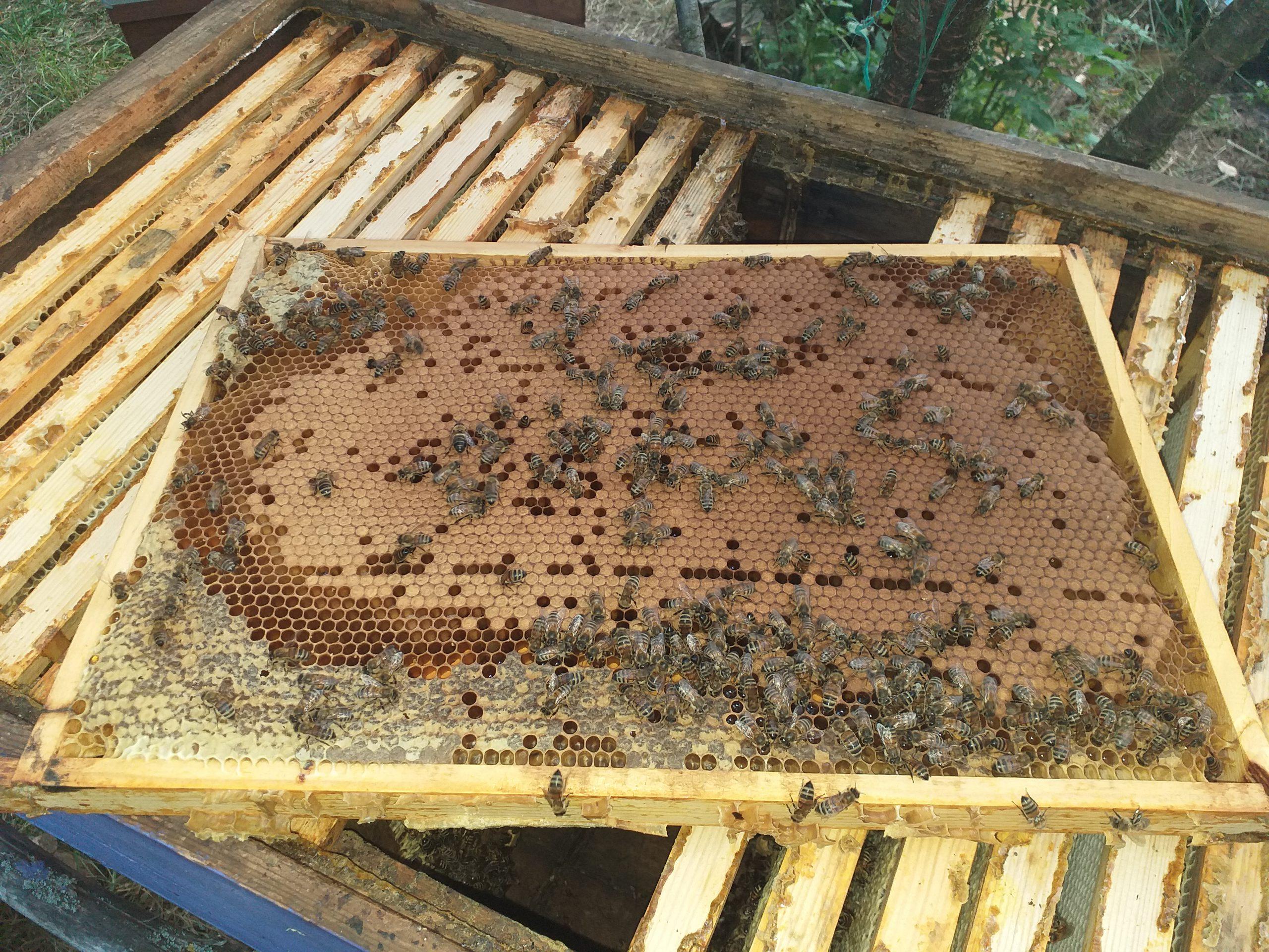Бджолопакети купити Київ Кагарлик