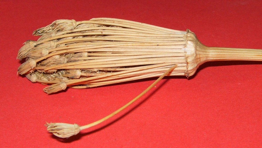 Амі зубна (Ámmi visnága) зуцвіття з насінням